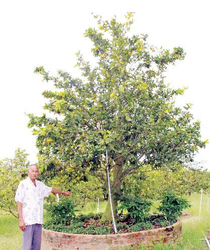 Hiện vườn mai của gia đình ông Trần Văn Vị có nhiều gốc trị giá hơn 1 tỉ đồng
