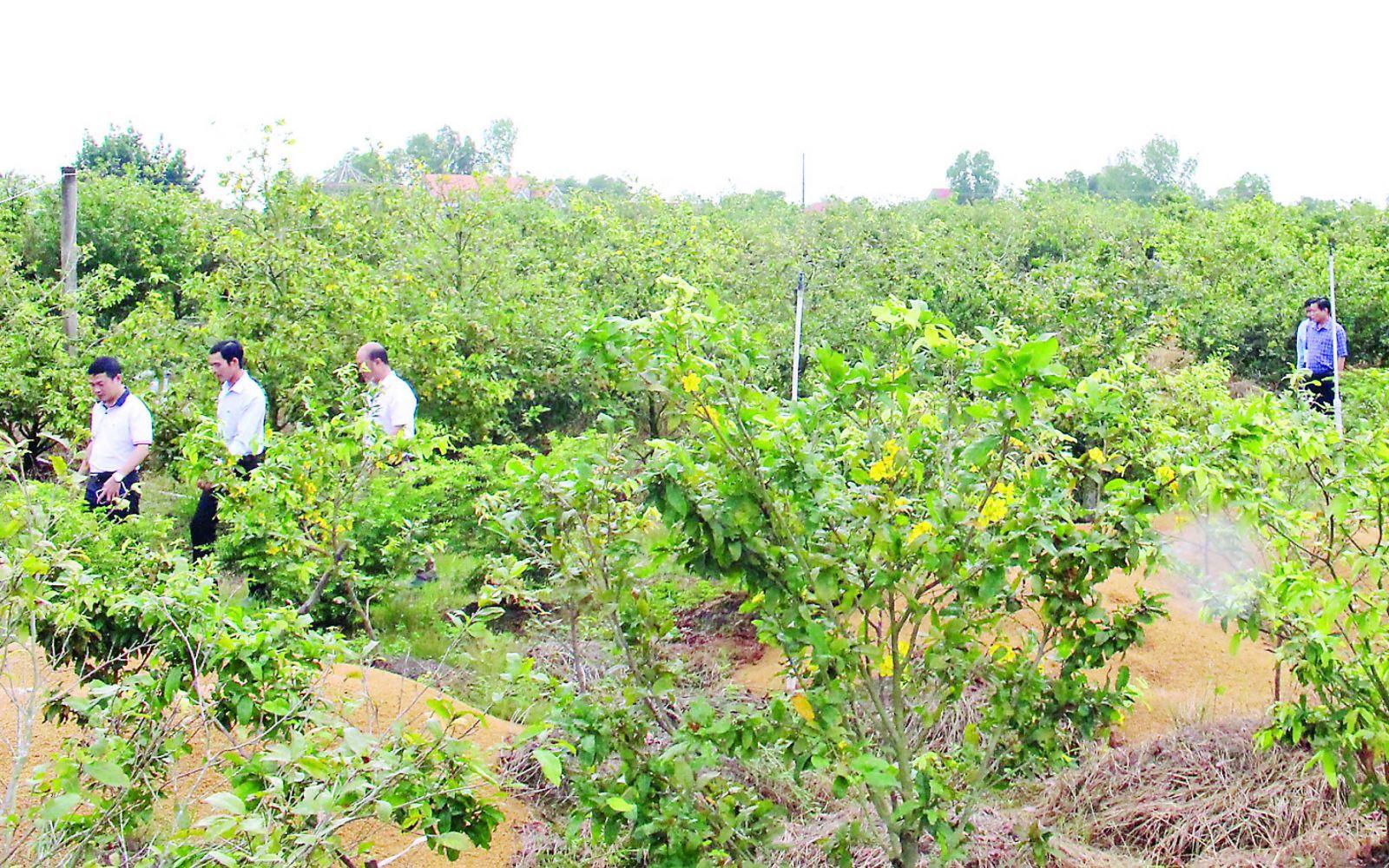 Từ một vài diện tích nhỏ, lẻ, đến nay, làng nghề trồng mai vàng Tân Tây đầu tiên của tỉnh được nhiều người biết đến