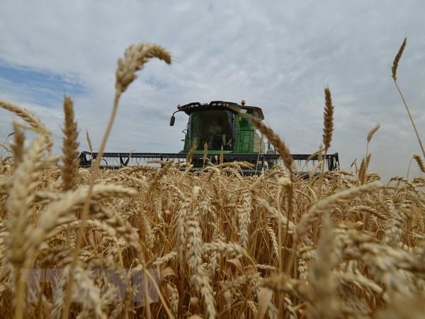 Thu hoạch lúa mỳ. (Ảnh: AFP/TTXVN)