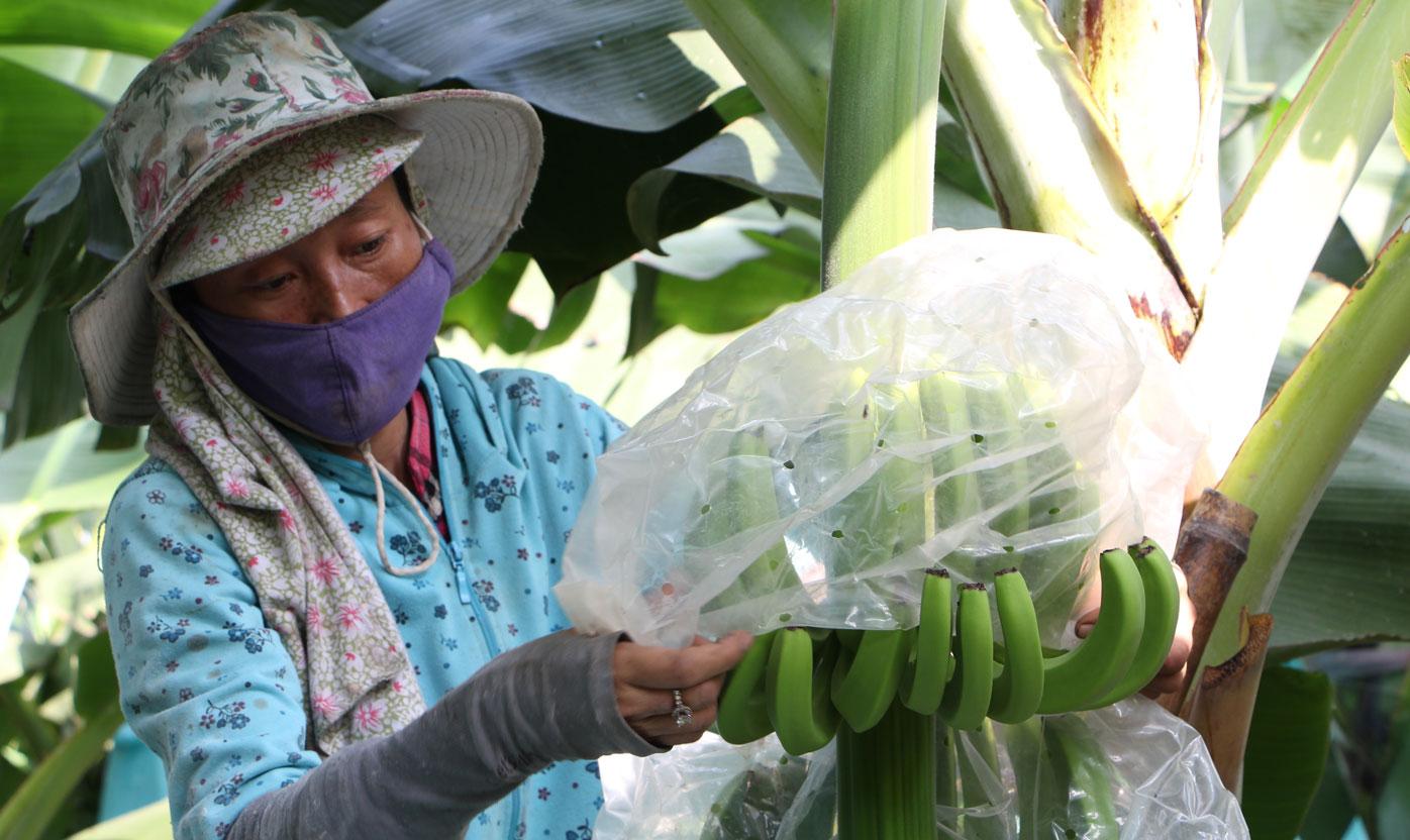 Mô hình trồng chuối già Nam Mỹ được sản xuất theo hướng an toàn sinh học, vận chuyển bằng hệ thống dây chuyền từ vườn vào nhà
