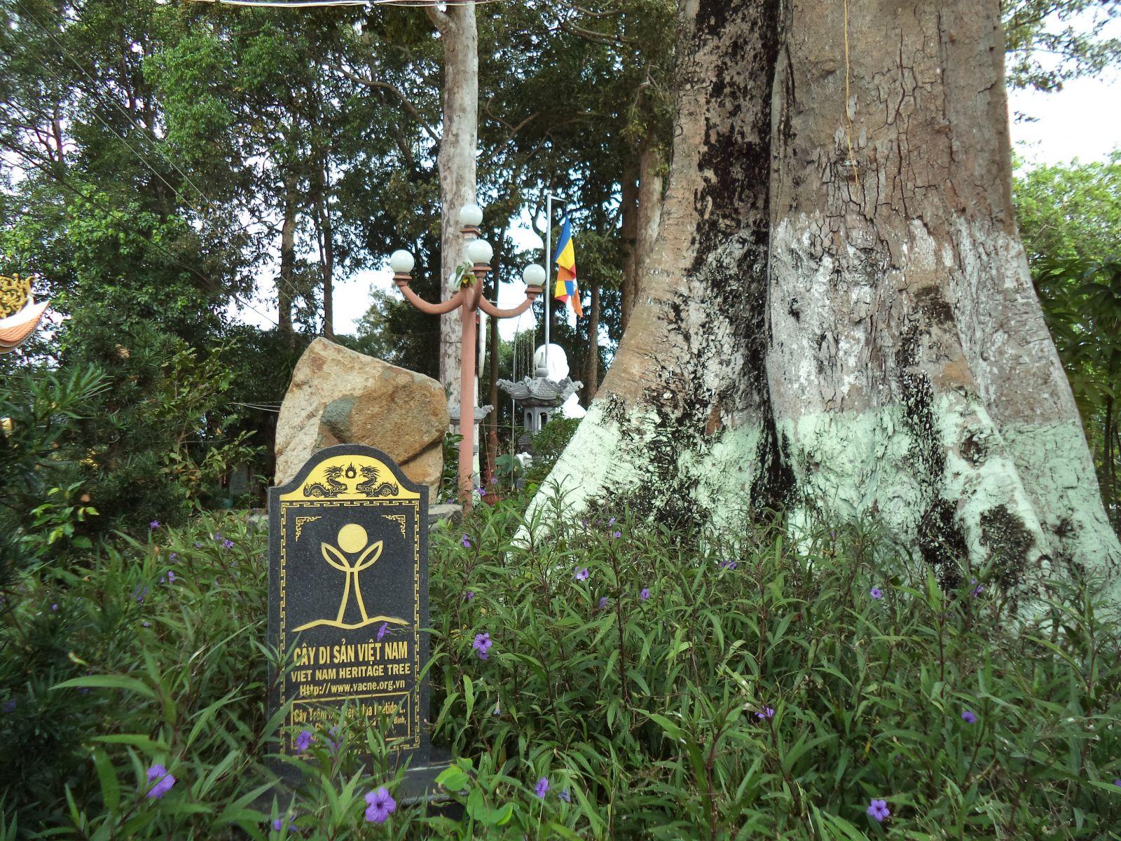 Một trong số cổ thụ Chùa Nổi mang danh hiệu Cây di sản Việt Nam