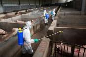 Trung Quốc phát hiện ít nhất 4 biến thể virus gây tả lợn châu Phi