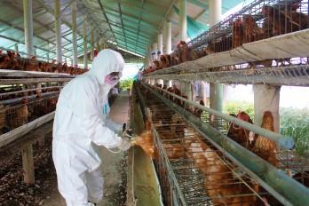 Người chăn nuôi nên thận trọng tái đàn