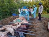 Long An: Tiêu hủy 133 con heo  do dịch tả heo châu Phi từ đầu năm đến nay