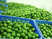 Ben Luc: 1,200 hectares of high-tech lemons planted