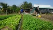 Lợi nhuận cao nhờ trồng rau màu mùa khô