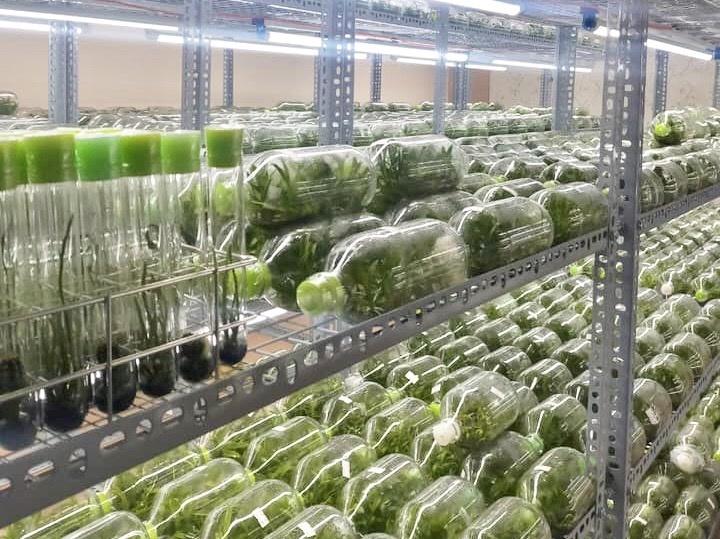Tất cả mẫu cây mô lan đột biến con đều được nuôi trong phòng lạnh. Ảnh: Vũ Công.
