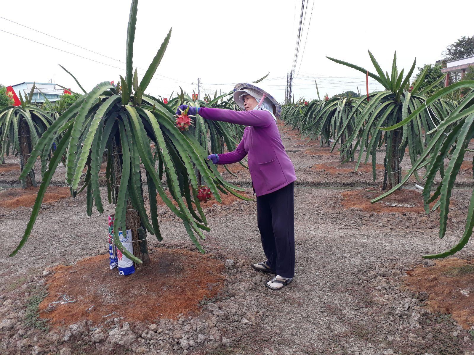 Mô hình trồng cây thanh long ứng dụng công nghệ cao mang lại hiệu quả kinh tế cho người dân xã Nhựt Ninh