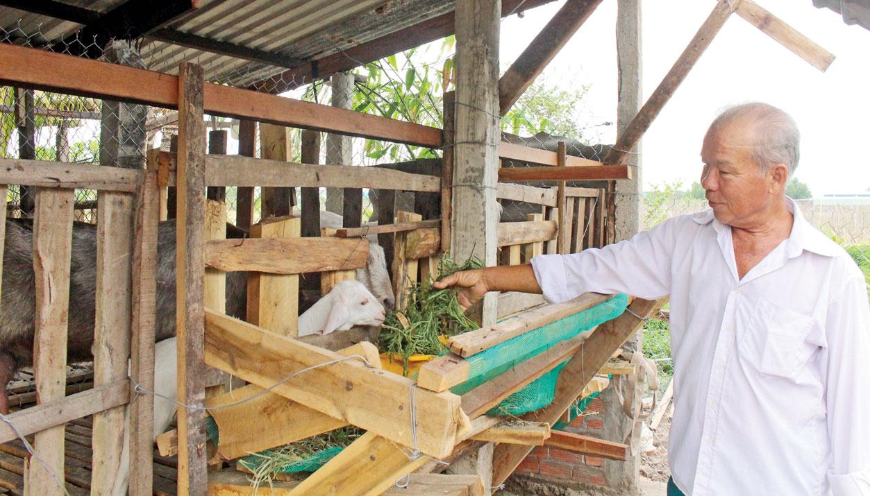 Ngoài trồng lúa, người dân Long Hiệp còn chuyển đổi giống cây trồng, vật nuôi để phát triển kinh tế gia đình